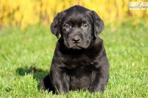 labrador-retriever-puppy-picture-47f18b27-c445-4c18-bd96-e2c2f43ce7f4