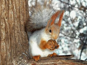 Squirrel_eating_a_nut
