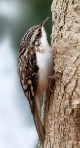 Brown Creeper: A bird not a child molestor