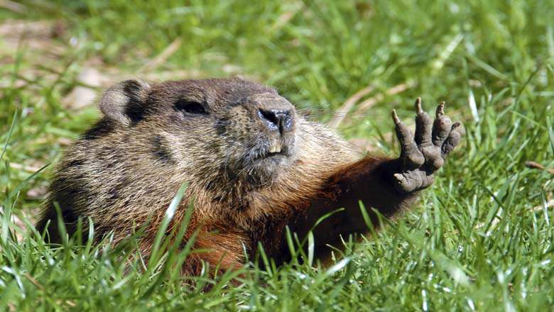 groundhog-day-history