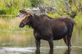 cow_moose
