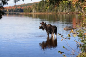 moose-safaris-maine-300x200