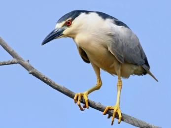 Black-crowned_Night_Heron_-_flickr