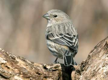 house_finch