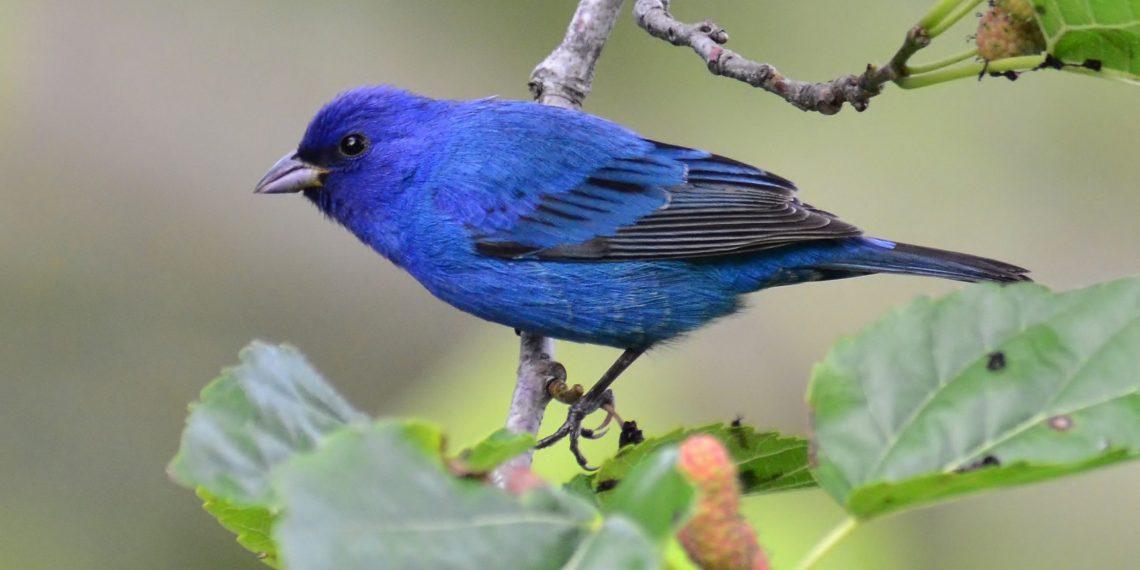 Indigo-Bunting-bird-watching-Michigan-2224x1112